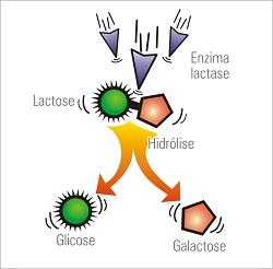 Lactase - Como funciona